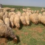 للبيع غنم نعيمي من الأردن.. مراعي خضراء.. التسليم في الرياض